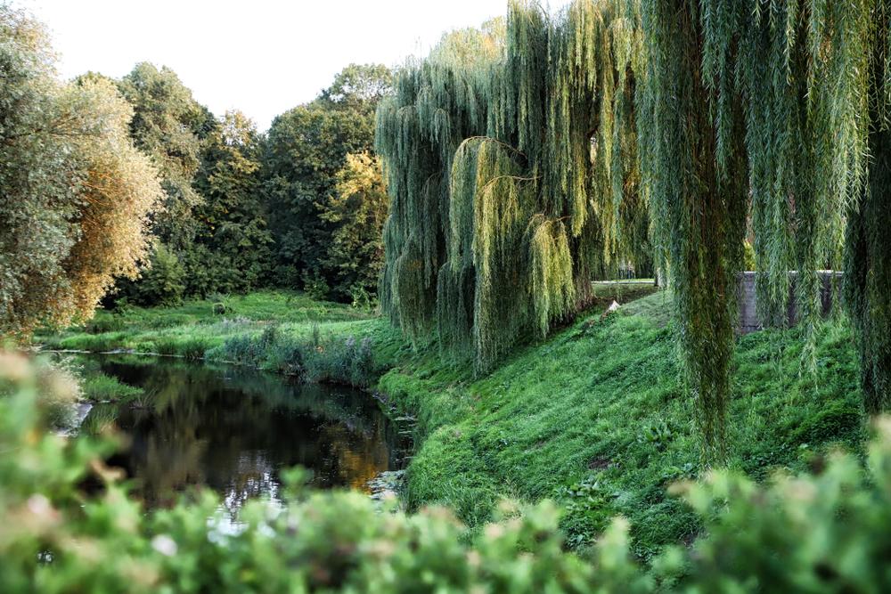 Ивы у реки в летний день