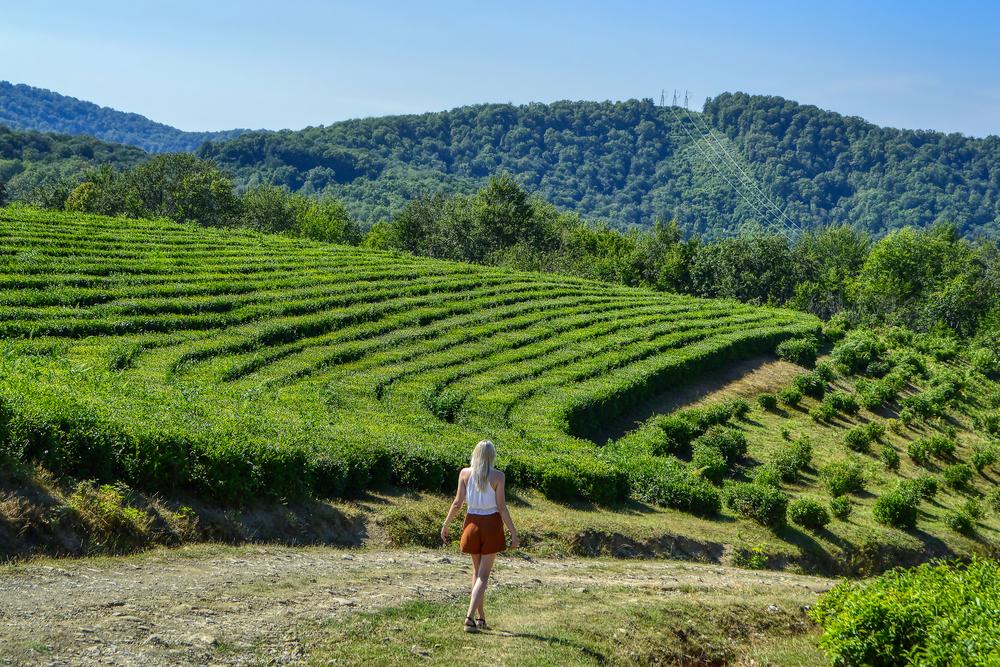 Чайные плантации, Сочи