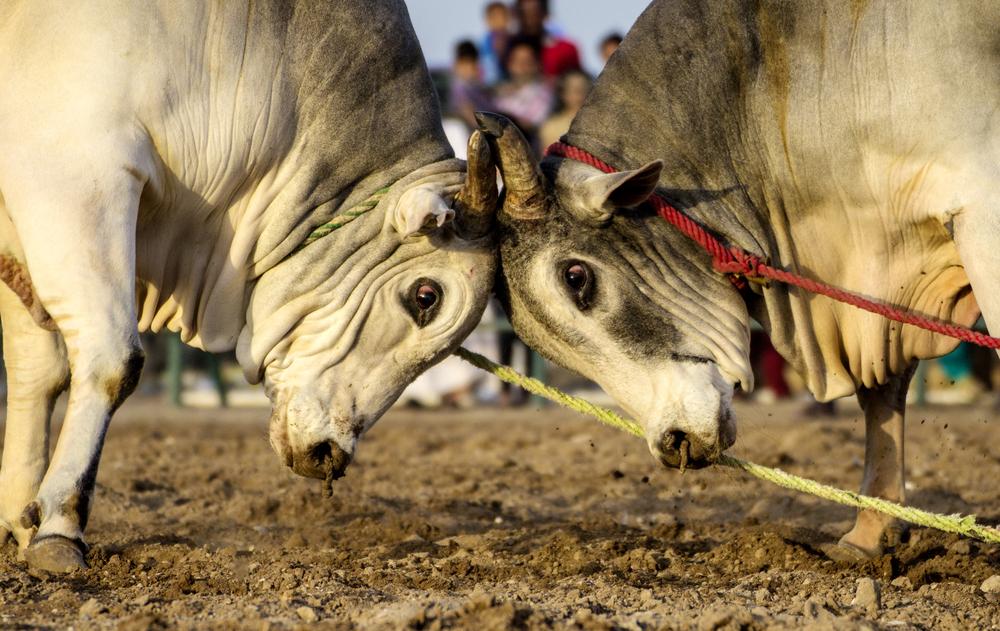 Бои быков. Фуджейра, ОАЭ.