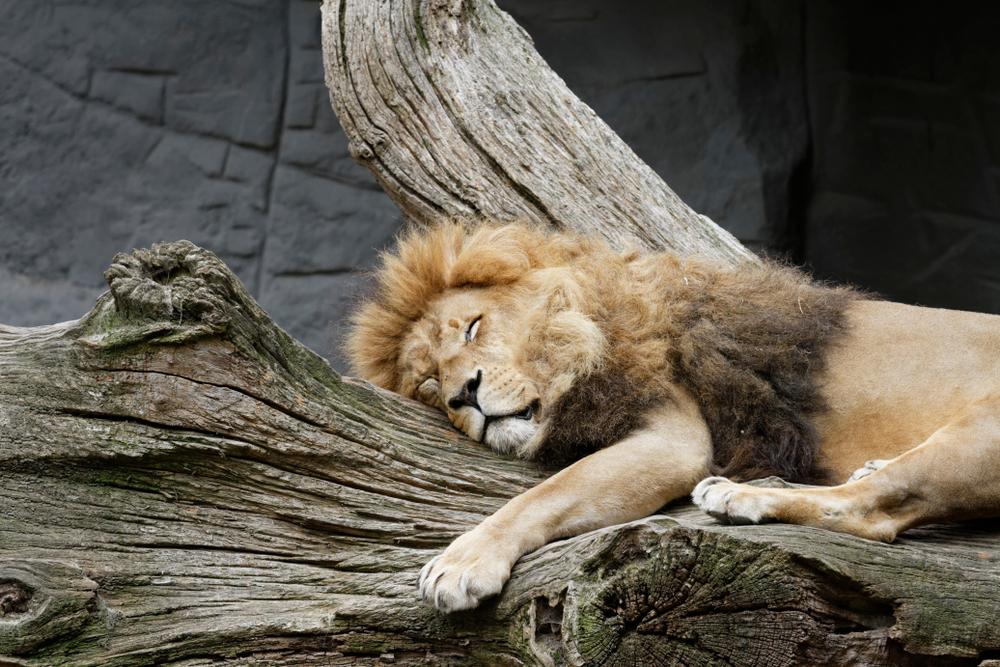 Лев в зоопарке Гамбурга
