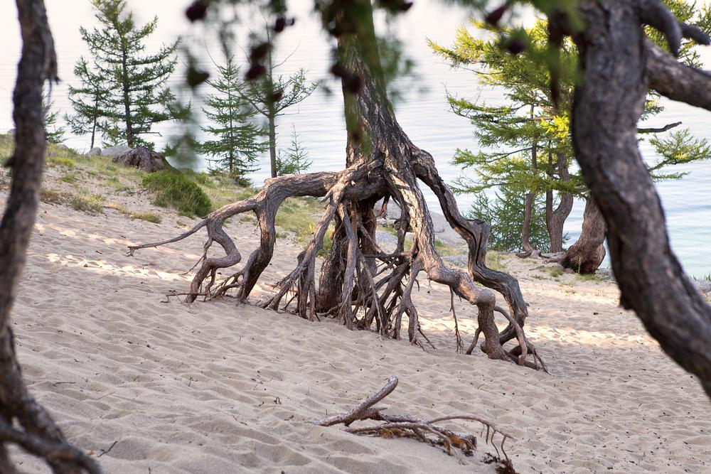 Лиственницы в бухте Песчаной