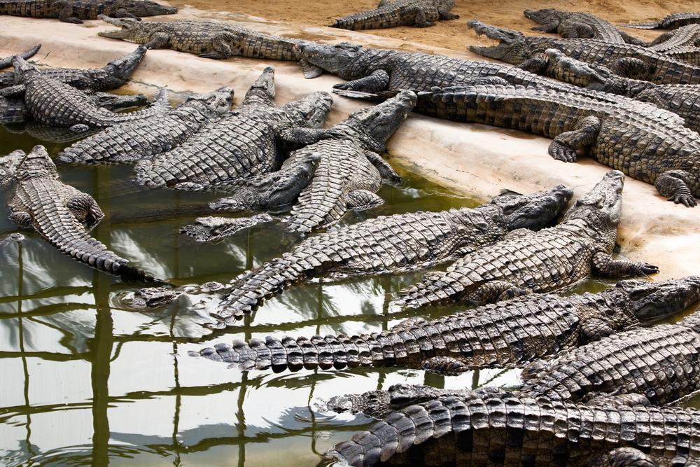 Крокодилы в парке «Djerba Explore», Джерба, Тунис.