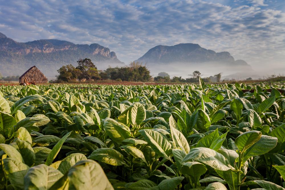 Табачная плантация в долине Виньялес