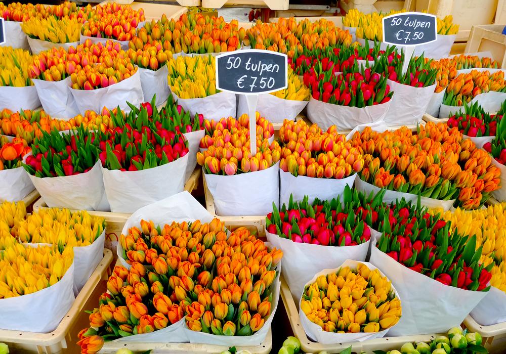 Голландские тюльпаны