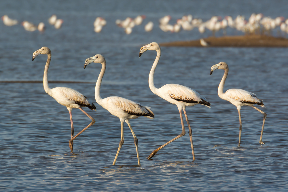 Фламинго в лагуне Корба. Набёль, Тунис.