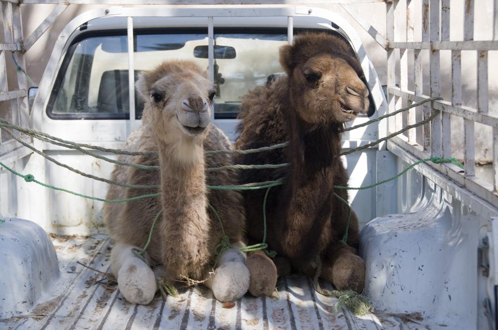 Верблюды на пятничном рынке. Набёль, Тунис.